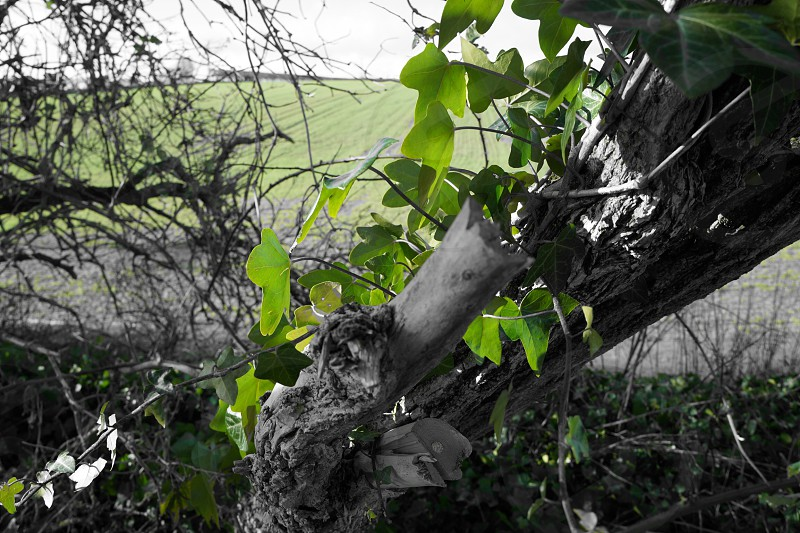 green ivy plants crawling on brown dried bare tree beside a field closeup photo photo