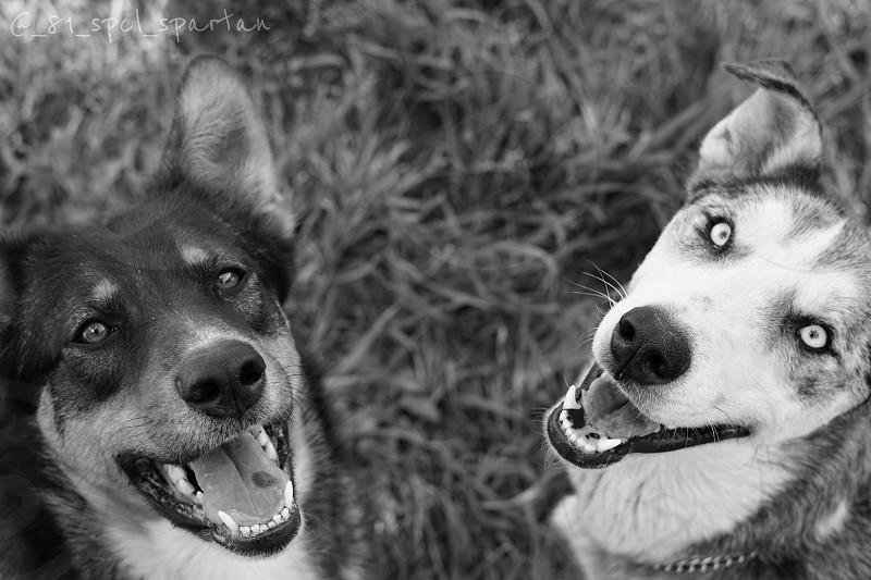 Sofie kado dogs couple pets family German shepherd photo