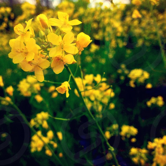 A field of yellow flowers.  photo