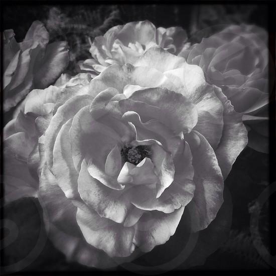 #blackandwhite #nature #flower photo