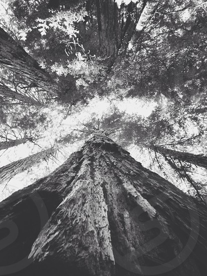 Tall Trees. photo