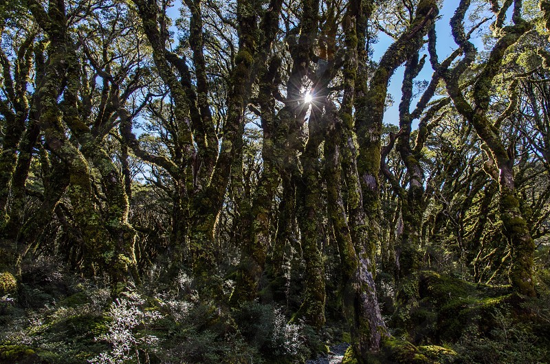 Sunlight beech forest Fiordland New Zealand Routeburn Lake Mackenzie nature landscape trees forest photo