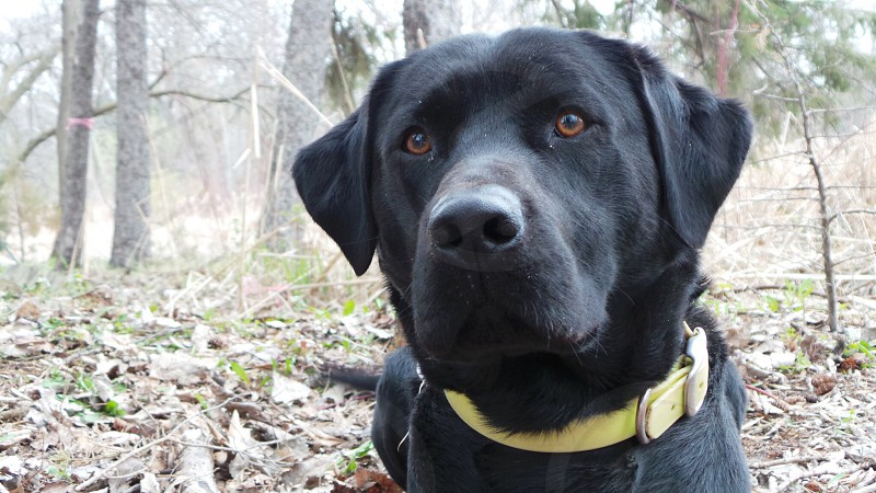 Dobby is a 2 year old british lab. He is the son of our other dog Snape and has a loving personality. photo