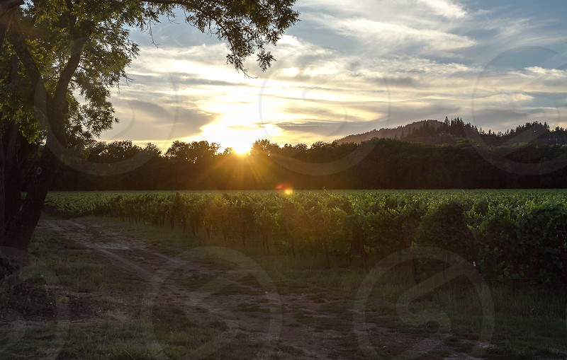 vineyards sunset sun rays clouds photo