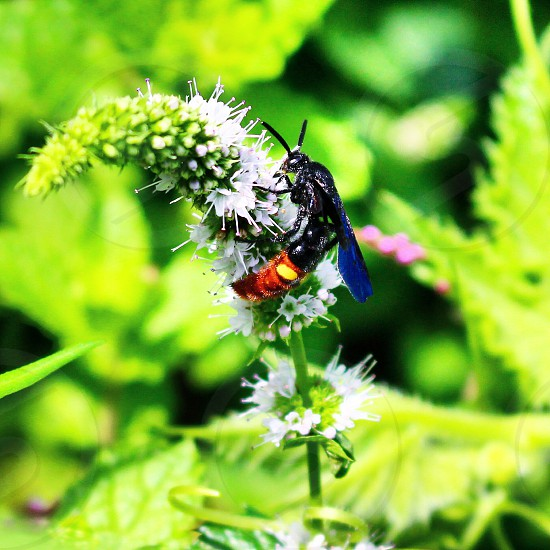 Cicada cicada killer wasp flying wings bug bugs insect insects bright colors stinger Delaware canon rebel sl1 photo