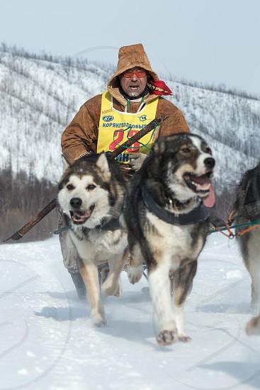 KAMCHATKA RUSSIA - MARCH 9 2013: Running dog sledge team Kamchatka musher Andrew Pritchin. Traditional Kamchatka extreme Dog Sled Racing Beringia. Russian Federation Far East Kamchatka Peninsula. photo