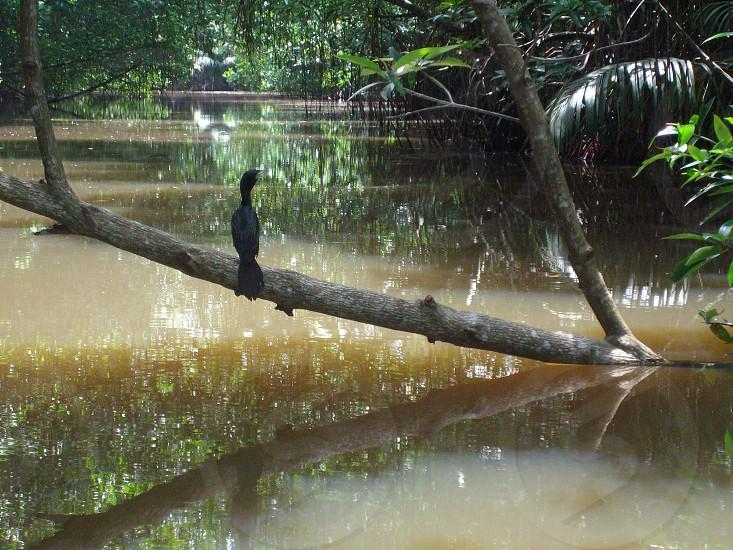 Cormorane Bird on Mangroves Bentota Sri Lanka photo