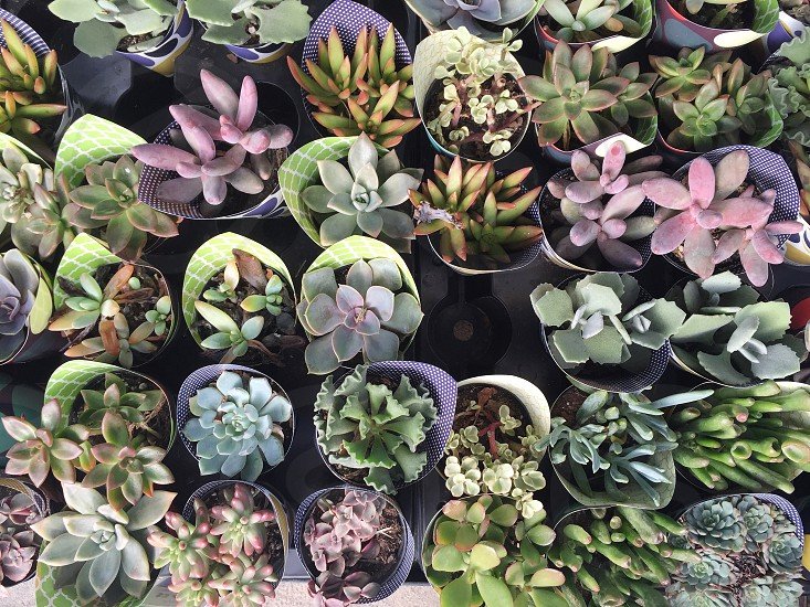 Succulents  photo