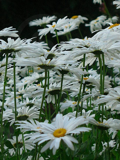 Field of white daisies as shown from stem height perspective. photo