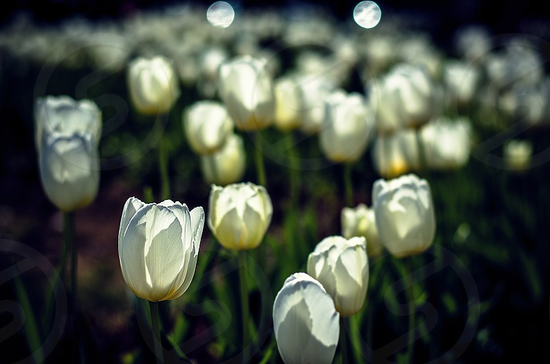 flowers spring tulips bokeh white photo