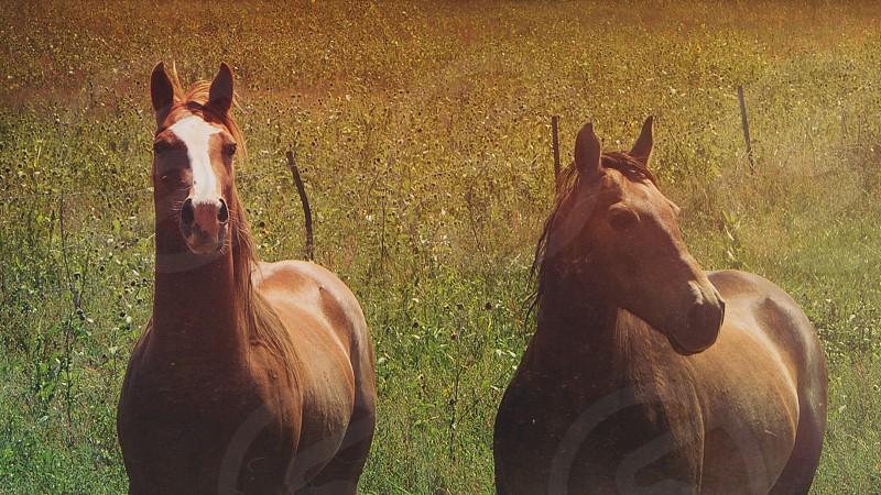 2 brown horse photo