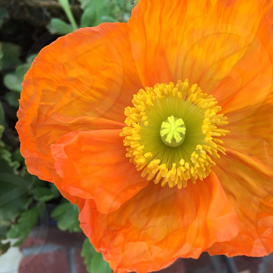 The perfect orange poppy photo