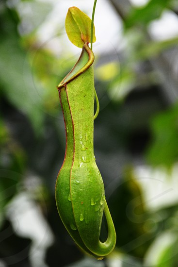 Green Pitcher Plant Nepenthes photo