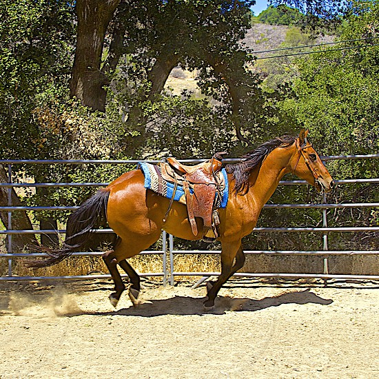 A beautiful horse in training in the mountains of California.  photo