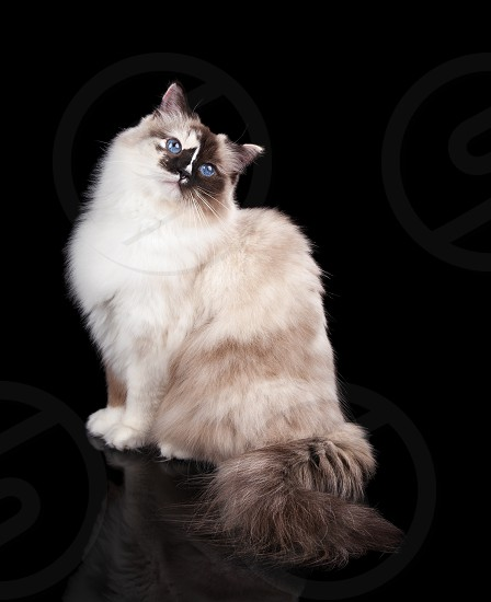 Beautiful pure-bred long haired Tortie Ragdoll Cat on a Black Background	 photo