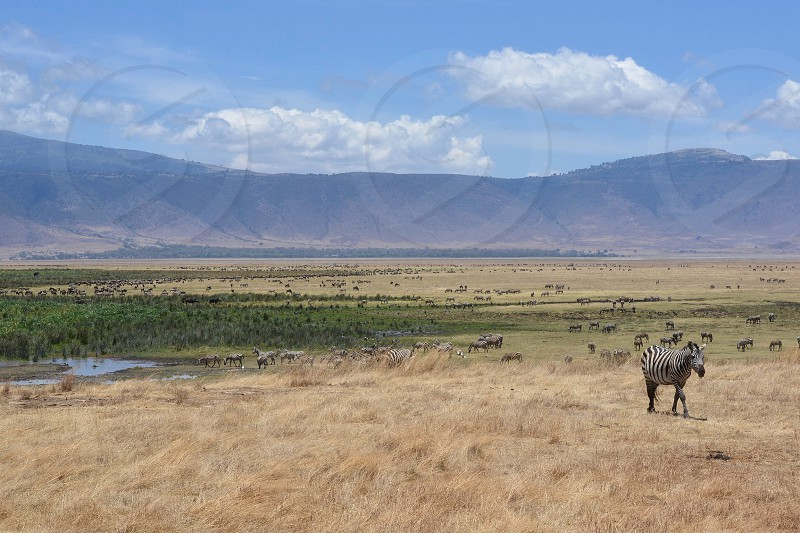 Animals roam along the vast landscape of the Ngorongoro Crater in Tanzania Africa. photo