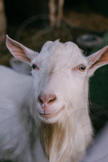 White goat. photo