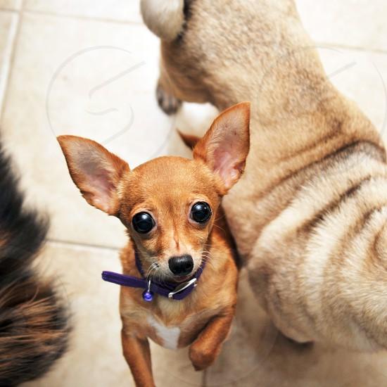 Cute chihuahua dog photo