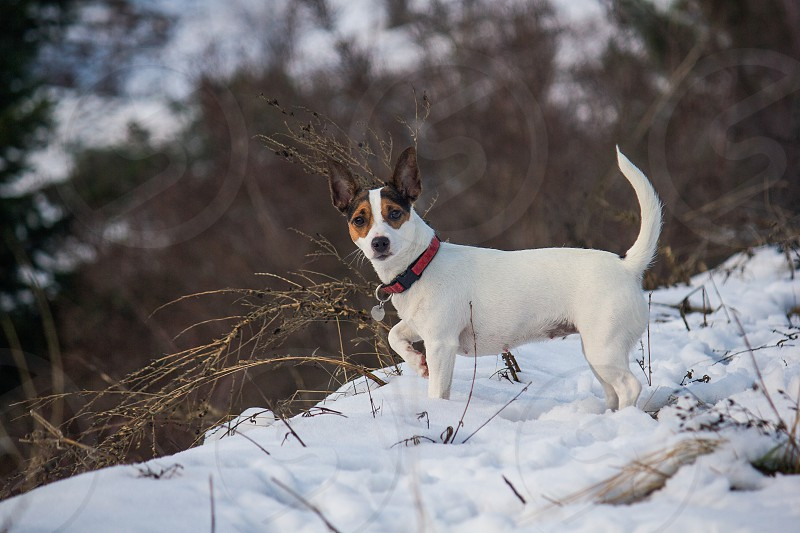 Young Jack Russell Terrier dog standing alertly in the snow. photo