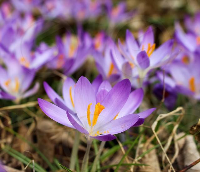 Crocus flower spring purple colors nature photo
