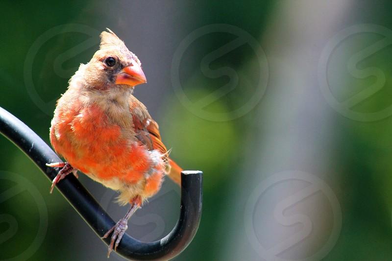 red cardinal bird nature animal photo