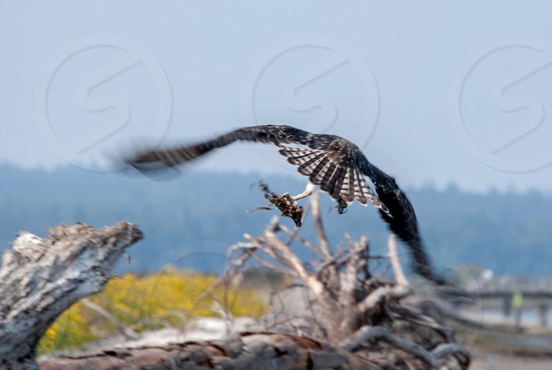 Osprey bird flight prey sky wings travel wildlife photo