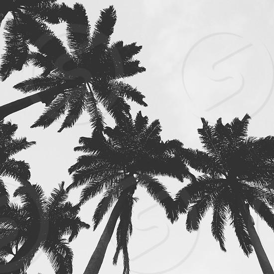 #palms #bw #tropical photo