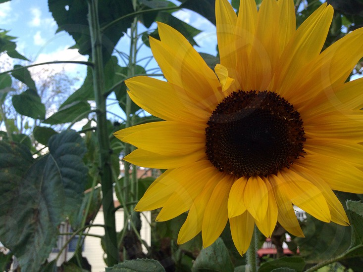 Sunflower summer beautiful  photo