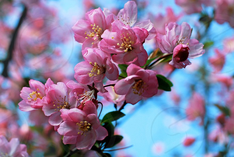 Spring flowers blossoms cherry pink blue vibrant photo
