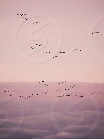 Birds geese migrating migration pink sky heaven clouds fall autumn nature photo
