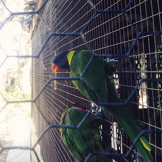 Lorikeet birds at the zoo photo