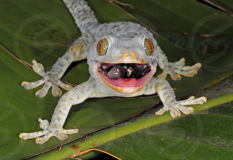 Tokay gecko (Gekko gecko) displaying an open-mouthed threat greeting.  This SE Asian lizard is now established in many Florida locales. photo