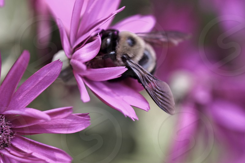 brown and black bee on pink flower photo
