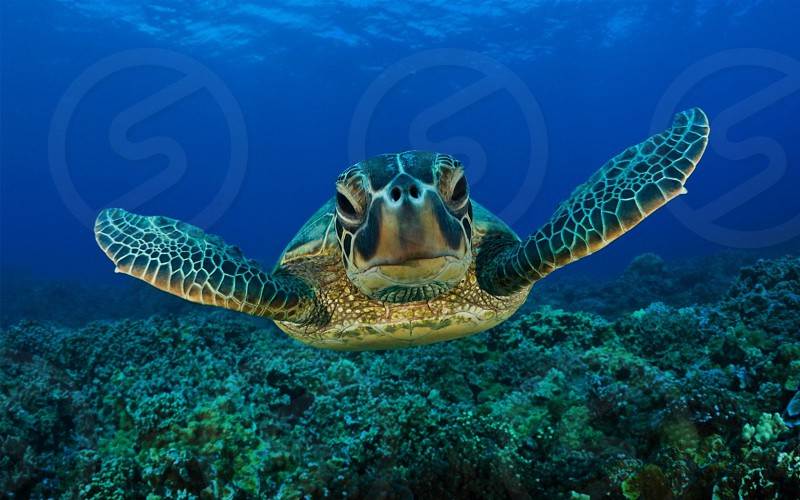 underwater photography of a brown tortoise swimming under the sea photo