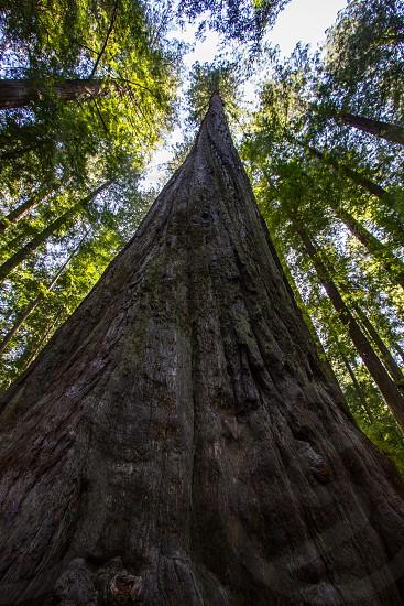 Looking up at a large redwood tree near the Avenue of the Giants in California photo