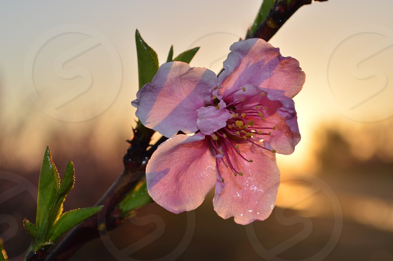 Peach blossom in the Central Valley Reedley CA. Flower Spring Time Close Up. photo