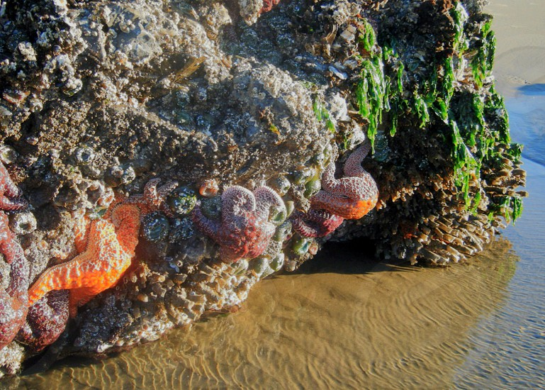 seastar algae carbuncles photo