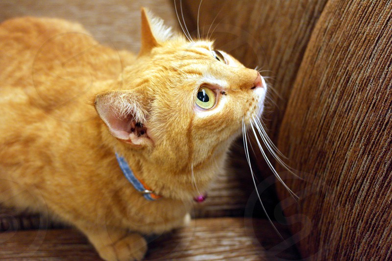 yellow tabby cat with blue lace photo