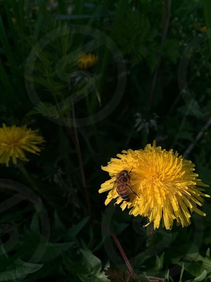 タンポポとミツバチ(Dandelion and Bee) photo