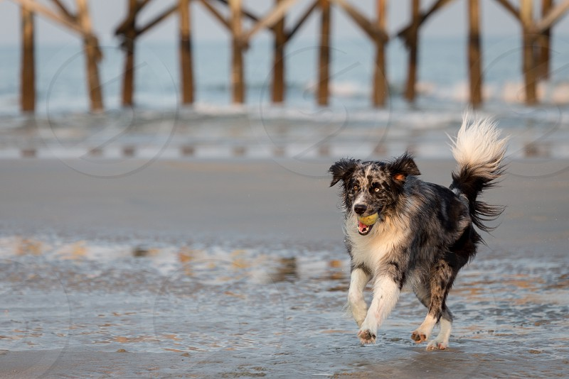 A dog playing fetch on the beach photo