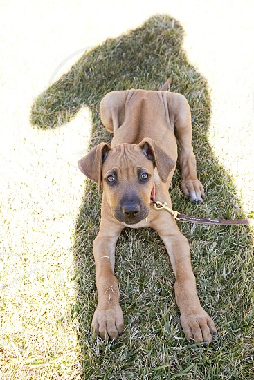 puppy dog training shadow human companionship trust bond relationship boss silhouette day grass family Rhodesian Ridgeback wrinkles photo