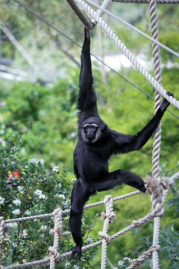 Agile Gibbon (hylobates agilis) photo