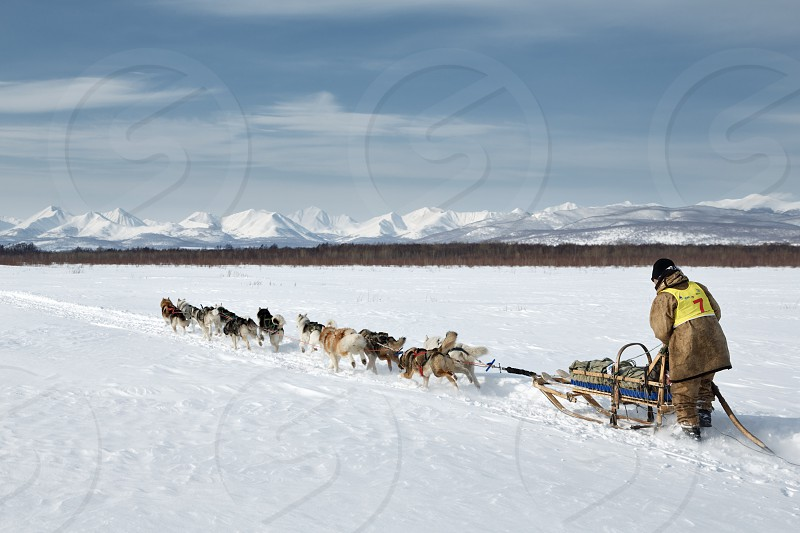 KAMCHATKA RUSSIA - MARCH 3 2014: Dog sled team musher Chuprin Valery runs on a background of the mountains. Traditional Kamchatka Sled Dog Racing Beringia. Russia Far East Kamchatka Peninsula. photo