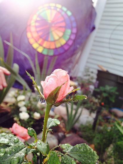 Miniature rose bud showered in light summer rain and warm evening sun. photo