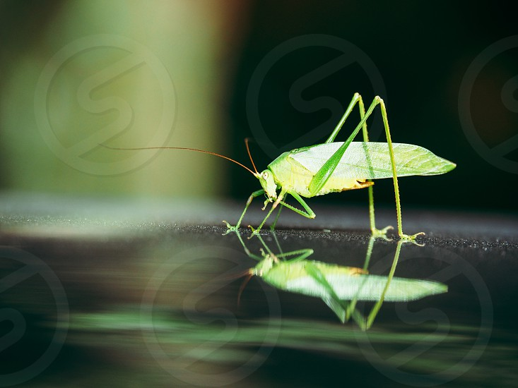 Grasshoppers green photo