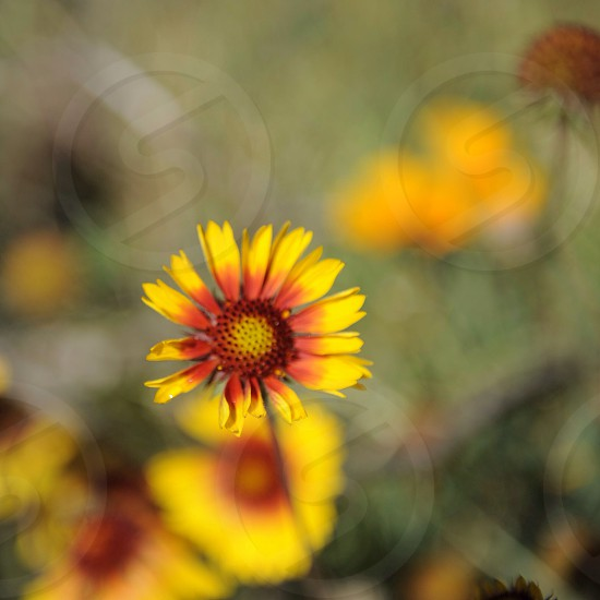 yellow and red flower photo