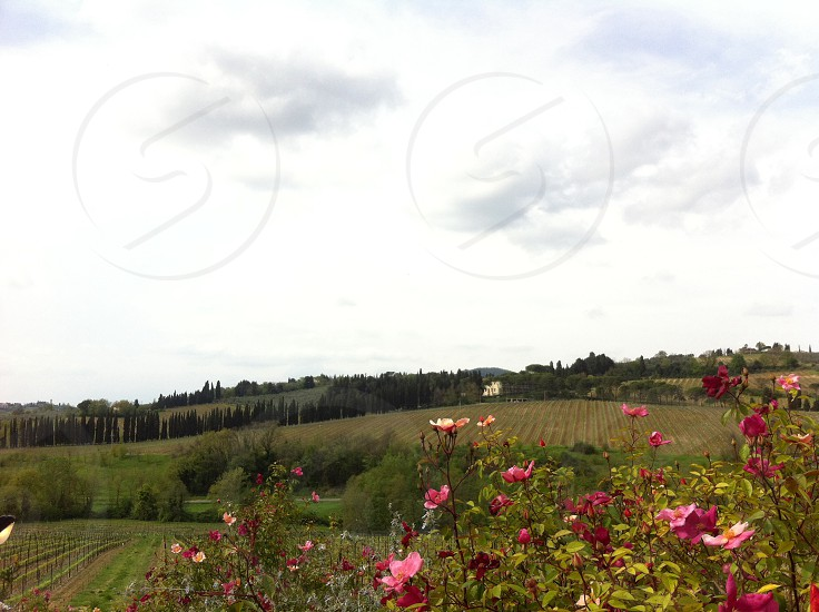 vineyard with pink flowers photo