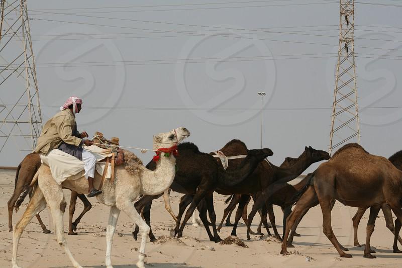 LisAm The Shepherd Camels Animal Mammal Desert photo