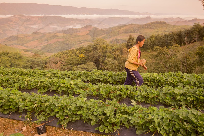 a strawberry plantation in the Chiang Rai Province in North Thailand. photo