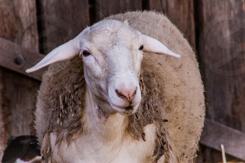 Farm bred sheep photo